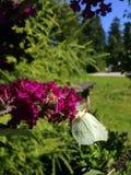 Mariposa del azufre Fotografía de archivo