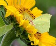 Mariposa del azufre en la flor de Sun Foto de archivo