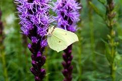 Mariposa del azufre en una flor Fotos de archivo