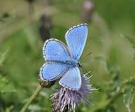 Mariposa del azul de Adonis Imagenes de archivo