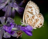 Mariposa del azul de la cebra (plinius de los leptotes) Fotografía de archivo libre de regalías