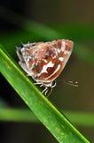 mariposa del azul de la Plata-raya Foto de archivo