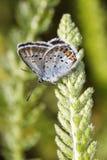 Mariposa del azul de Mazarine Fotografía de archivo