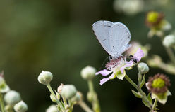 Mariposa del azul del acebo Imagen de archivo libre de regalías