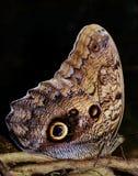 Mariposa del búho Foto de archivo libre de regalías