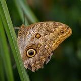 Mariposa del búho Foto de archivo