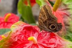 Mariposa del búho en la flor tropical Fotografía de archivo libre de regalías