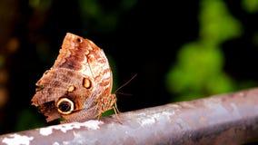Mariposa del búho en pajarera Imagen de archivo