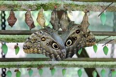 mariposa del Búho-ojo imagenes de archivo
