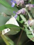 Mariposa del blanco de col Imagen de archivo libre de regalías