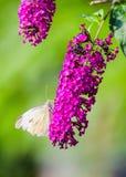 Mariposa del blanco de col Fotos de archivo libres de regalías