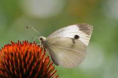Mariposa del blanco de col Fotografía de archivo libre de regalías