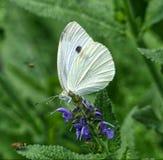 Mariposa del blanco de col Imagenes de archivo