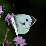 Mariposa del blanco de col.  Brassicae del Pieris Fotografía de archivo libre de regalías