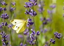 Mariposa del blanco de col en la flor de la lavanda Fotografía de archivo