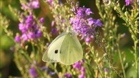 Mariposa del blanco de col del prado que alimenta en el néctar almacen de metraje de vídeo