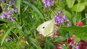 Mariposa del blanco de col del prado que alimenta en el néctar almacen de video