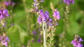 Mariposa del blanco de col del prado que alimenta en el néctar metrajes