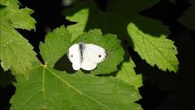 Mariposa del blanco de col que calienta sus alas en sol del verano almacen de metraje de vídeo