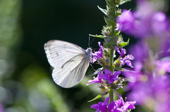 Mariposa del blanco translúcido Fotografía de archivo libre de regalías