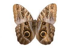 Mariposa del buho Imagen de archivo libre de regalías