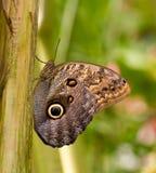 Mariposa del buho foto de archivo