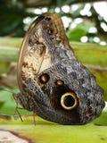 Mariposa del buho Fotografía de archivo libre de regalías