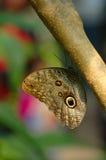 Mariposa del buho Fotos de archivo libres de regalías