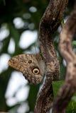 Mariposa del buho (Caligo) Fotos de archivo libres de regalías