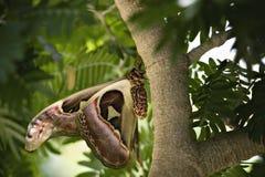 Mariposa del buho en árbol tropical Imagenes de archivo