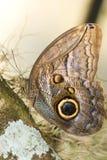Mariposa del buho (idumeneus de Caligo) Foto de archivo libre de regalías