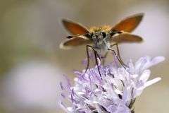 Mariposa del capitán en la flor foto de archivo