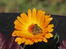 Mariposa del capitán que recolecta el néctar en el flor amarillo brillante del Calendula Imagen de archivo