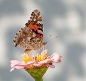 Mariposa del cardui de Vanesa Imágenes de archivo libres de regalías