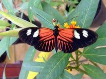 Mariposa del cartero Imagenes de archivo