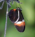 Mariposa del cartero Foto de archivo libre de regalías