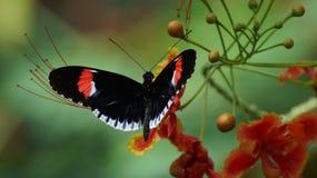 Mariposa del cartero Imagen de archivo libre de regalías