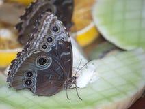 Mariposa del castaño de Indias Imagenes de archivo