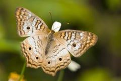Mariposa del castaño de Indias Fotos de archivo libres de regalías