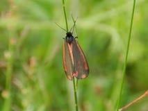 Mariposa del cinabrio del St Fotos de archivo