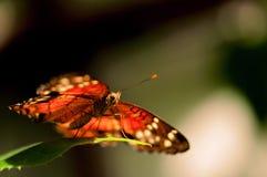 Mariposa del collie que se coloca en la hoja verde Fotos de archivo libres de regalías