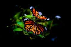Mariposa del dúo del monarca Imagen de archivo libre de regalías