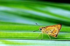 Mariposa del dardo de la palma Imagen de archivo libre de regalías