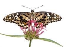 Mariposa del demoleus de Papilio Fotos de archivo libres de regalías