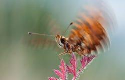 Mariposa del diámetro de Boloria que vuela para arriba de la planta en naturaleza Fotos de archivo libres de regalías