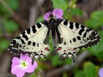 Mariposa del este del adorno en una flor Fotos de archivo