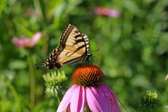 Mariposa del este de Swallowtail del tigre Imagen de archivo libre de regalías