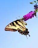 Mariposa del este de Swallowtail del tigre Imagenes de archivo