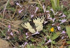 Mariposa del este del adorno Fotos de archivo