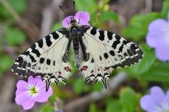 Mariposa del este del adorno en una flor Foto de archivo